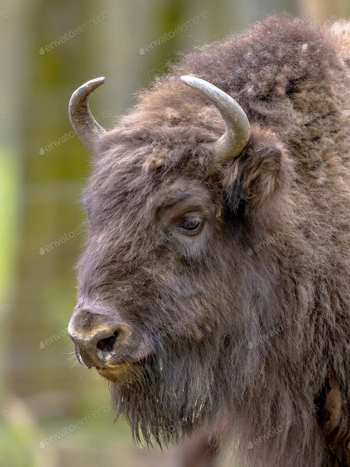 portrait of Wisent bull