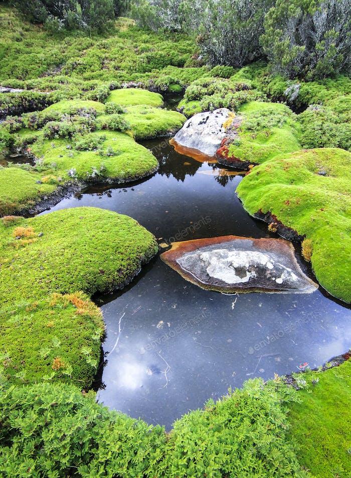Cushion Plants in a Wetland in Tasmania