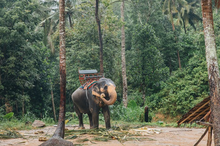 elephant in green tropical forest at Ko Pha-ngan island, Thailand