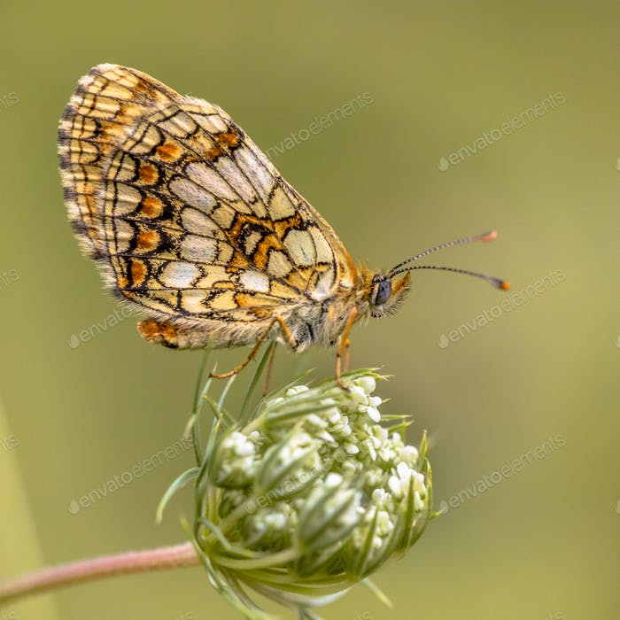 Assmanns fritillary butterfly