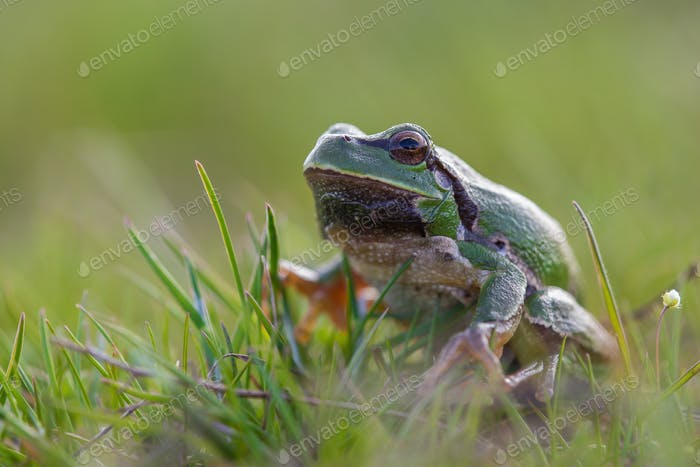 Macro Shot of European Tree Frog (Hyla Arborea) Sitting in Grass. Isolated. Blurred Green Background