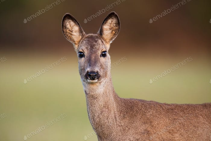Close-up of roe deer, capreolus capreolus, doe in spring with burred background