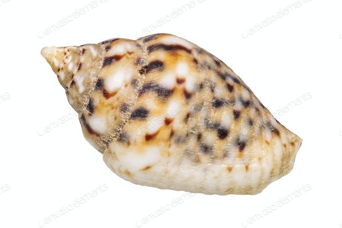 Concha de Mar sobre Fondo blanco