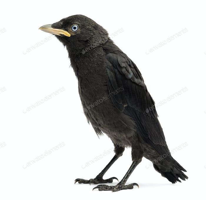 Western Jackdaw, Eurasian Jackdaw or European Jackdaw, Corvus monedula, 20 days old