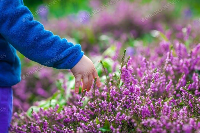 Aufnehmen lila Loosestrife Flowers