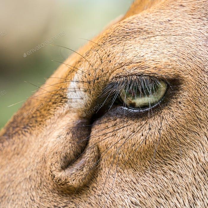 Macro shot of deer's eye