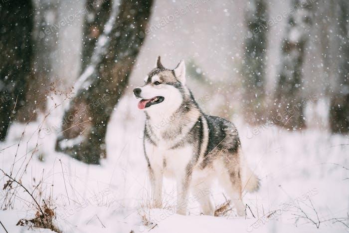 Siberian Husky Dog Walking Outdoor In Snowy Field At Winter Day