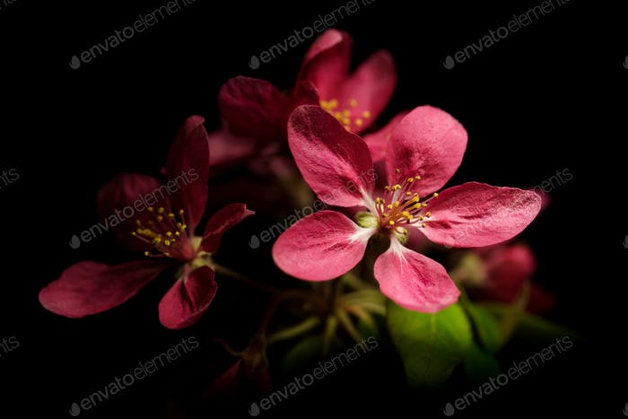 Plum- tree flowers