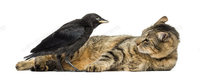 Western Jackdaw and lying cat looking at each other, isolated on white