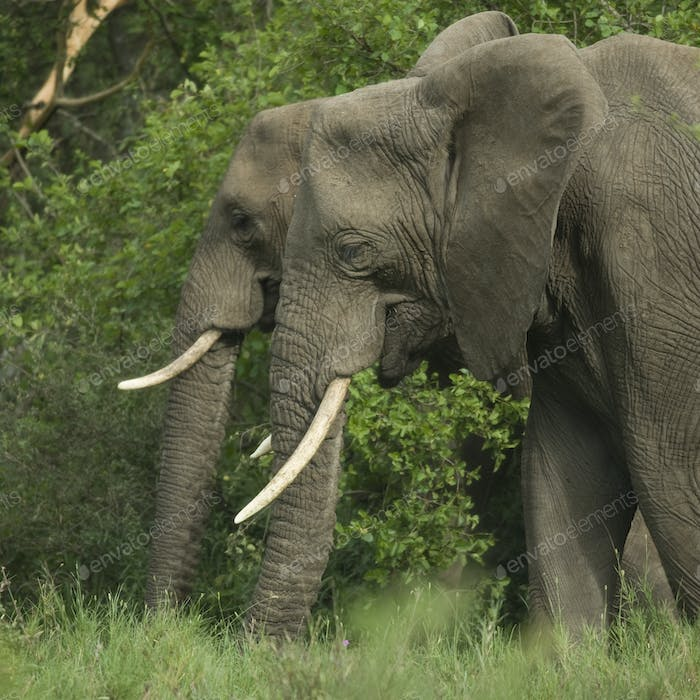 side view on two elephant's head