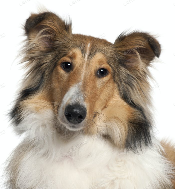 Close-up of Scotch Collie, 9 months old, in front of white background