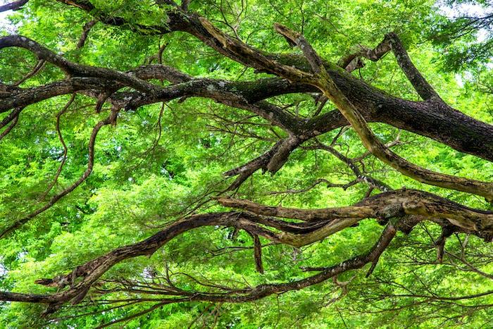 el árbol forestal
