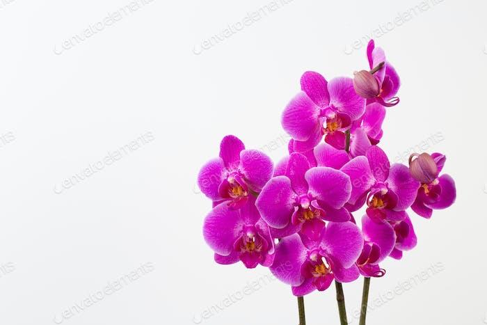 Beauty Orchidee auf weißem Hintergrund.