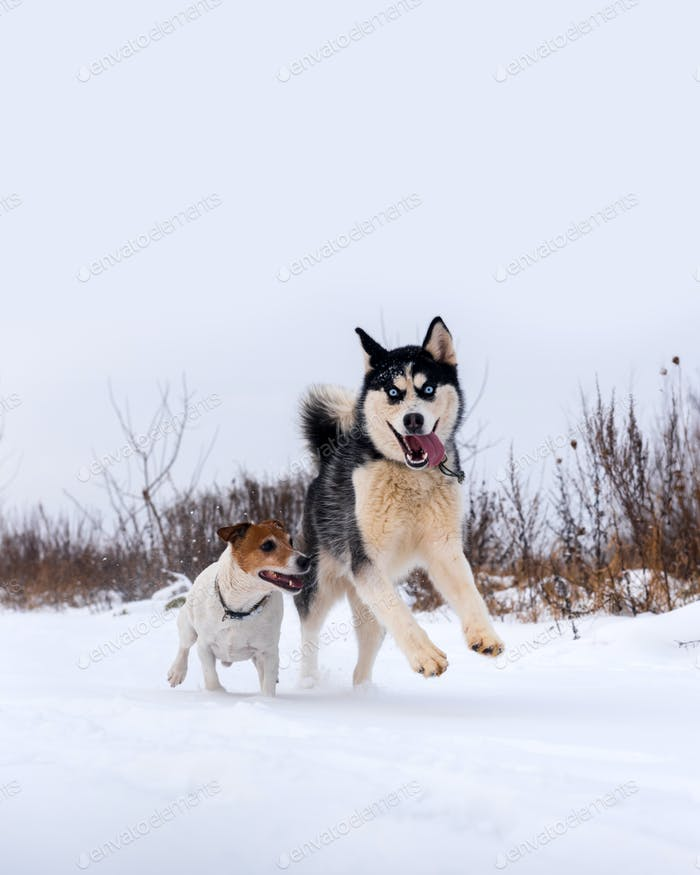 Siberian husky and jack russel terrier
