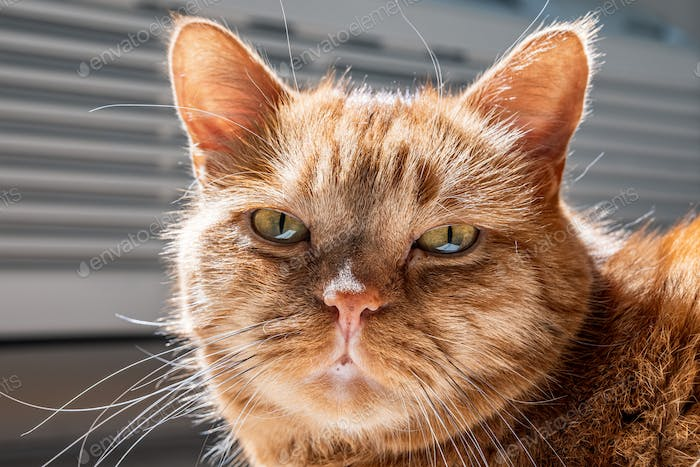 Close up of Half-Persian orange cat with green eyes looking at the camera;