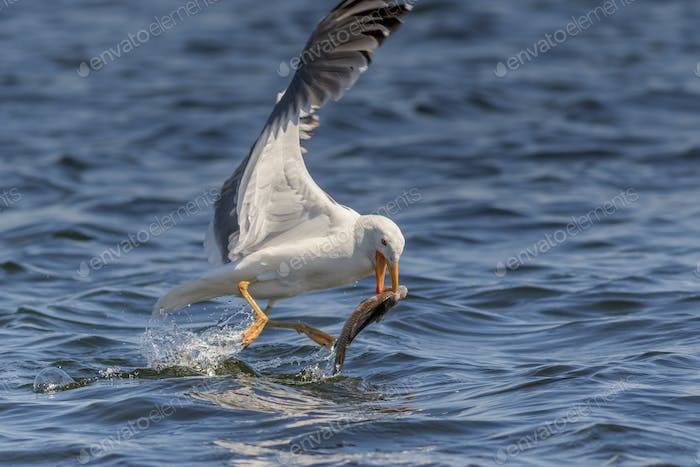 seagull eating fish