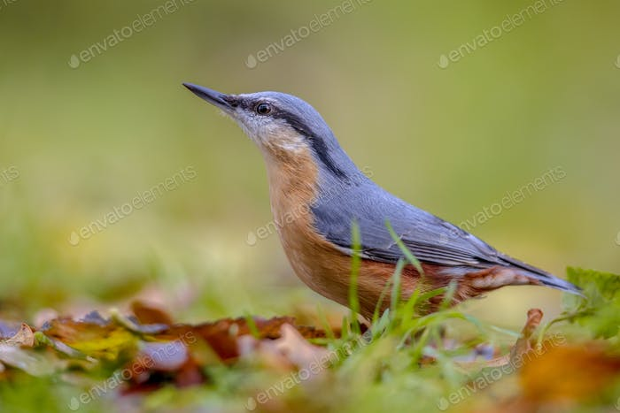Eurasian Nuthatch in autumn colors