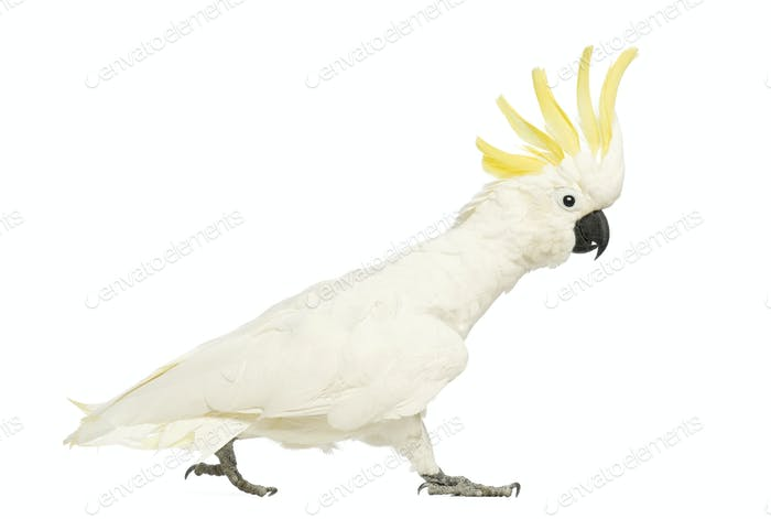Sulphur-crested Cockatoo, Cacatua galerita, 30 years old, walking