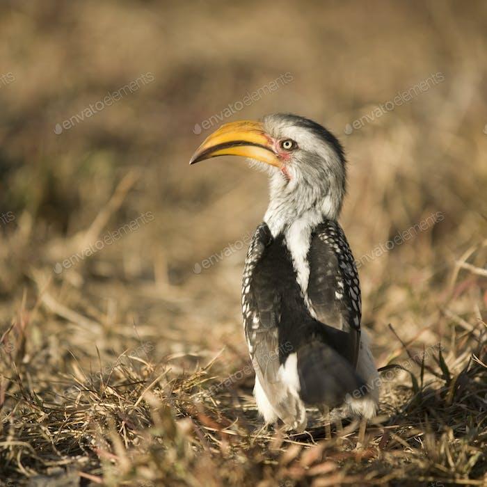 Southern Yellow-billed Hornbill - Tockus leucomelas