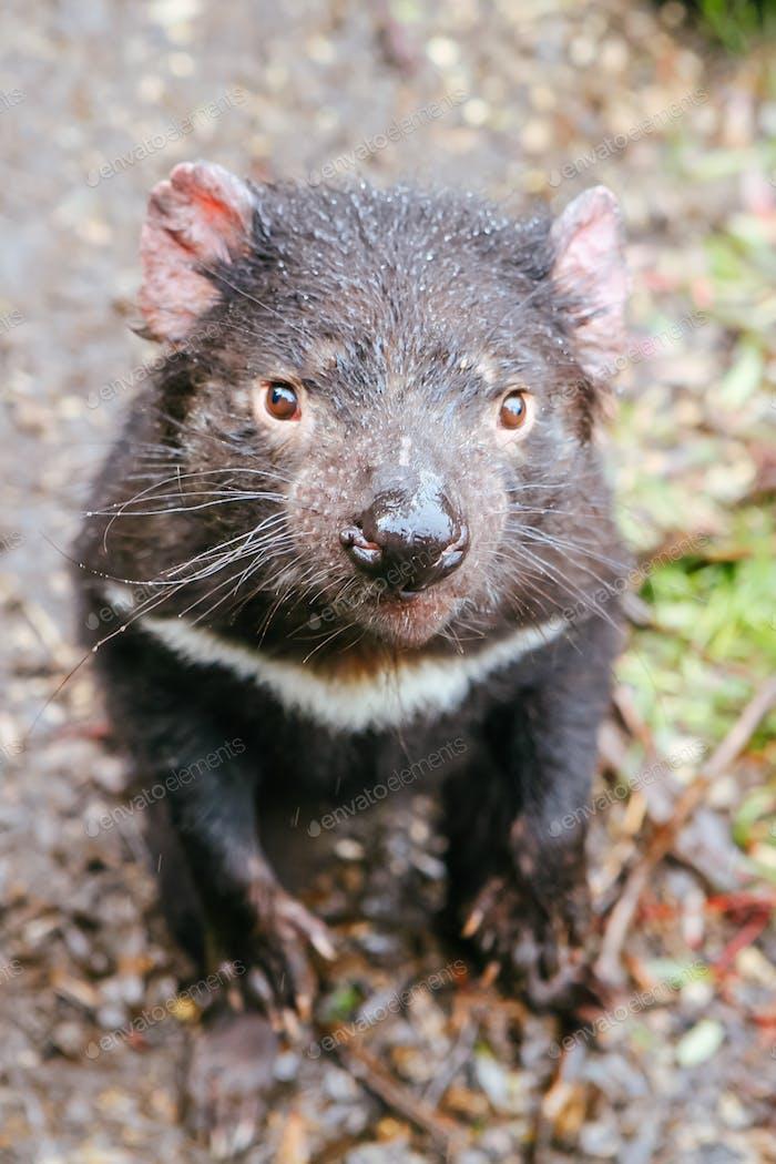 Tasmanian Devil in Tasmania Australia