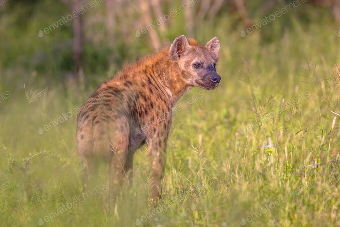 Spotted Hyena scavenger