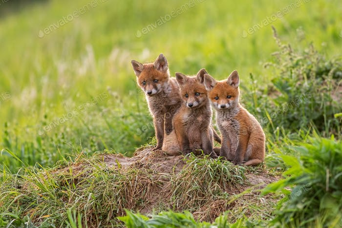 Red fox, vulpes vulpes, small young cubs near den curiously watching around