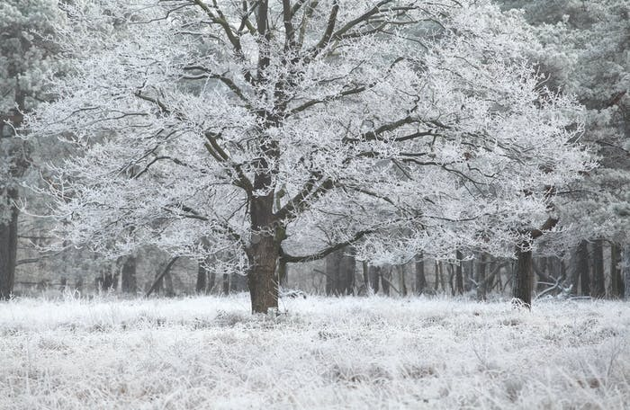 oak tree covered with frost