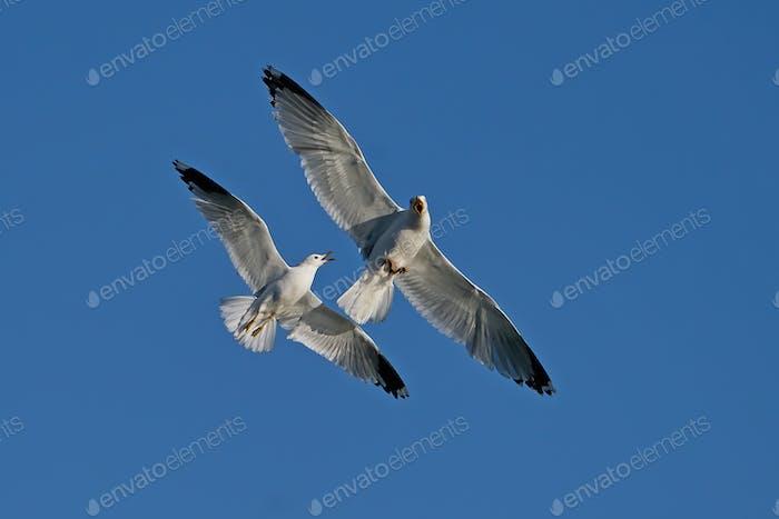 Common gull (Larus canus) and European herring gull (Larus argentatus)