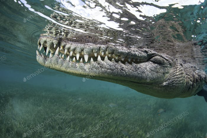 Crocodile underwater, Crocylus acutus, close up of the animal snout.