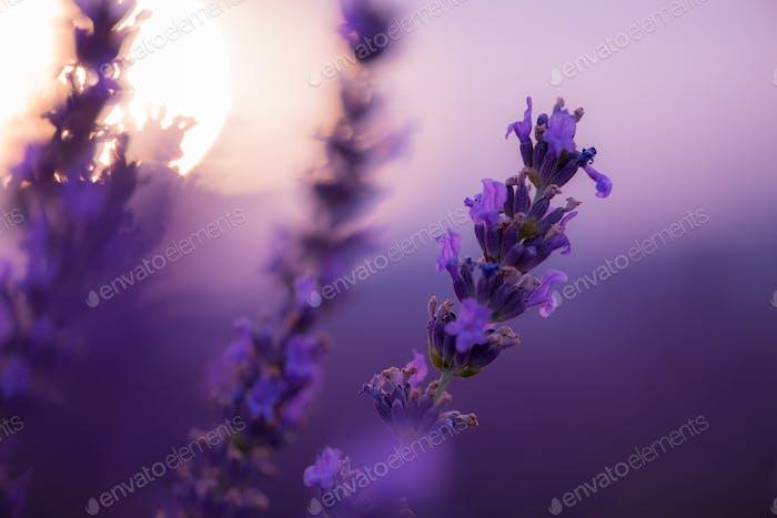 closeup purple lavender field