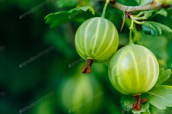 Fresh Green Gooseberries. Growing Organic Berries Closeup On A B
