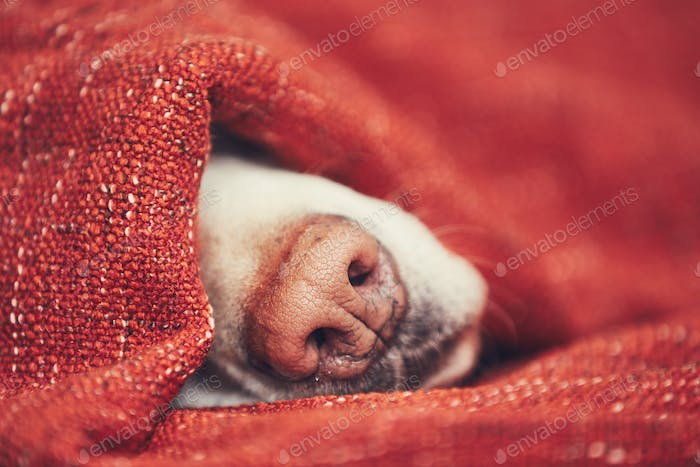 Dog sleeping wrapped in blanket