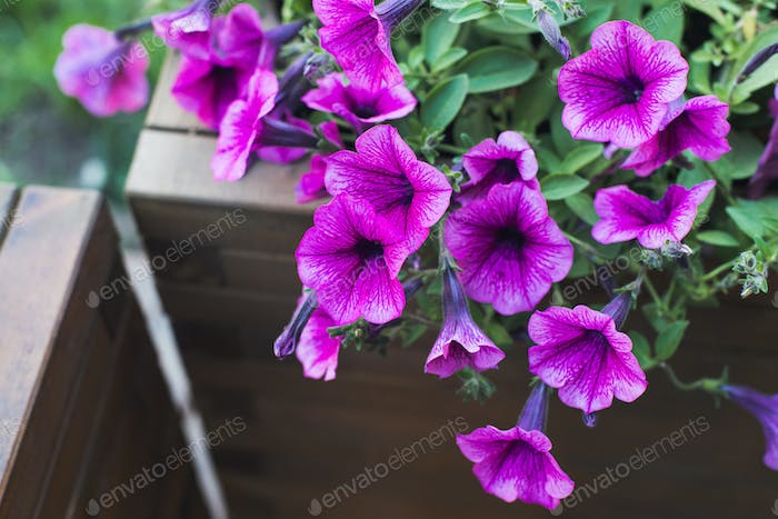 pink petunia in wooden container flower pot