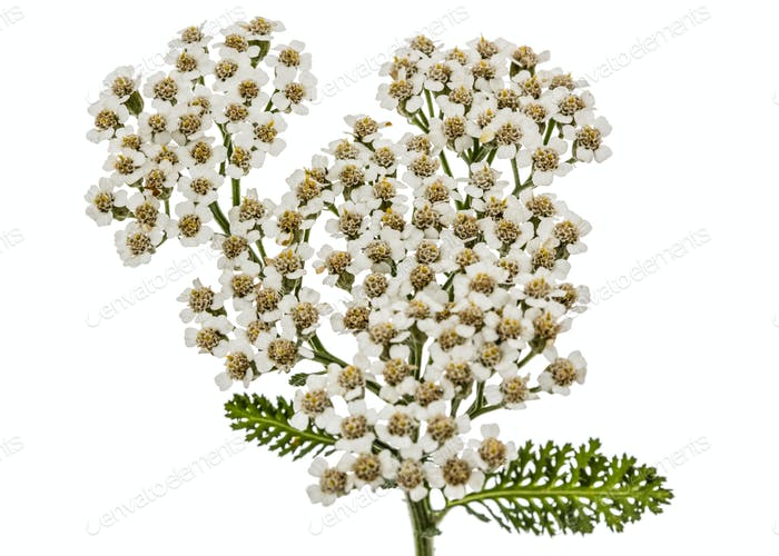 Flowers of yarrow, lat. Achillea millefolium, isolated on white