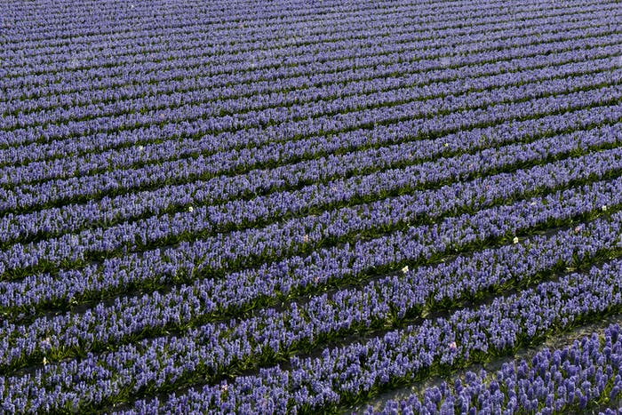 Rows of traditional Dutch Hyacinths