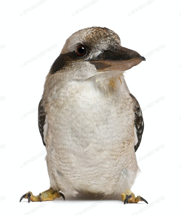 Portrait of Laughing Kookaburra, Dacelo novaeguineae, a carnivorous bird in the kingfisher family