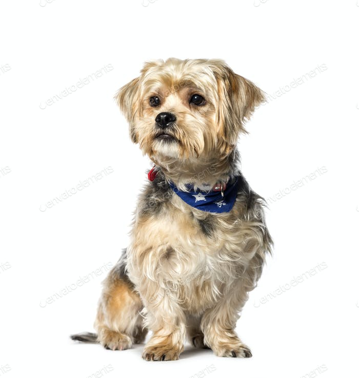 Mixed-breed dog between Yorkshire terrier and Shih Tzu sitting in front of white background