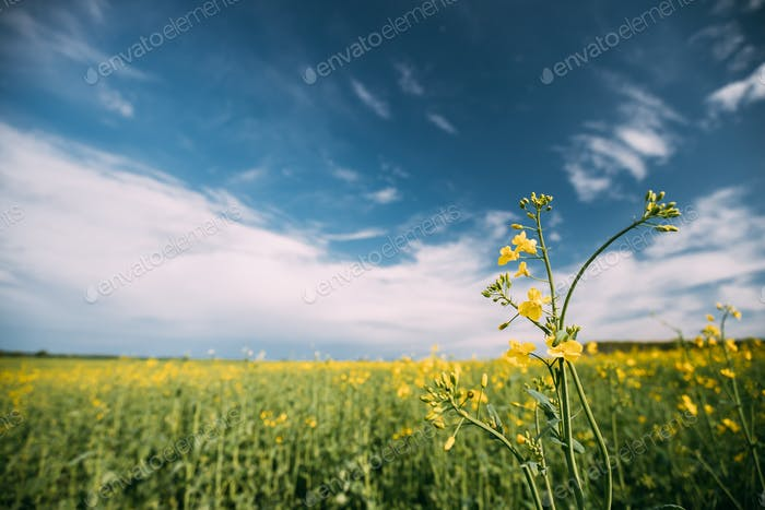 Close Up Of Blossom Of Canola Yellow Flowers Under Sunny Sky. Ra