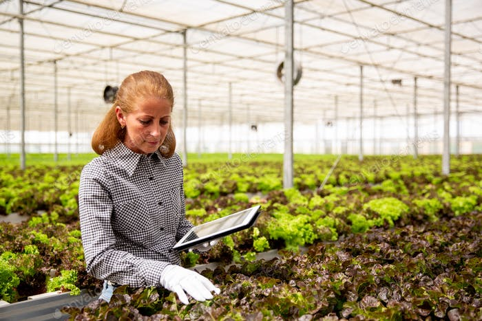 Female agronomist analyzing salad plants in modern greenhouse