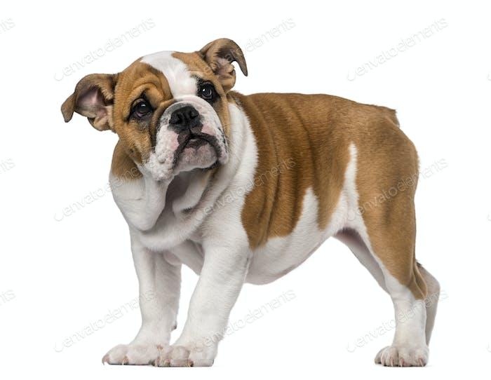 English Bulldog puppy (3 months old)