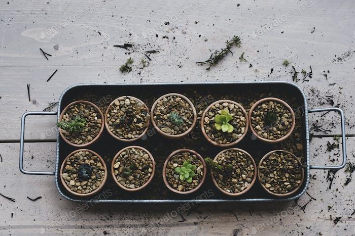 Hochwinkel-Nahaufnahme Tablett mit Sukkulenten, die in Kies in Terrakottatöpfen gepflanzt sind.