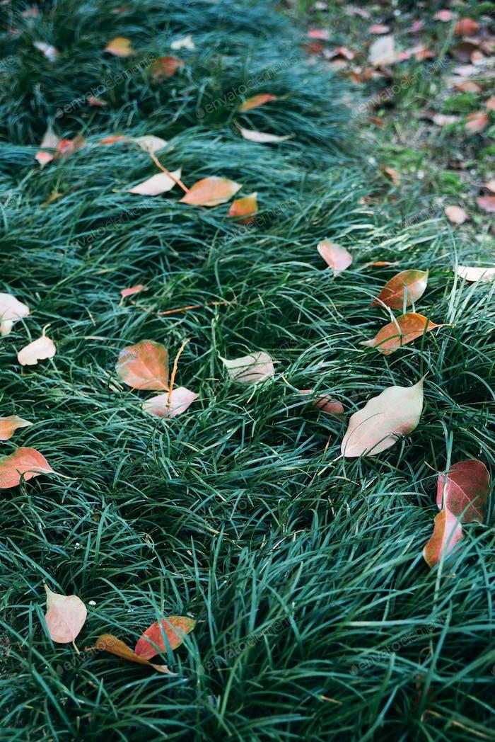 golden orange, red, autumn leaves on green grass lawn of yard, backyard, park, garden