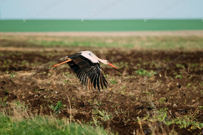 European White Stork Ciconia Ciconia Flying Above Spring Field i