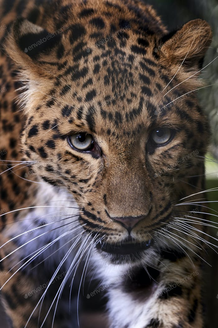 North-Chinese leopard (Panthera pardus orientalis)