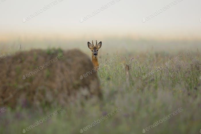 Buck ciervo escondido en la hierba