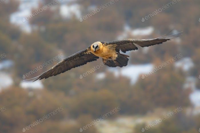 Bartgeier fliegen