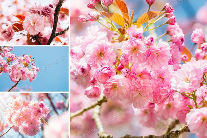 Collage of Sakura flowers