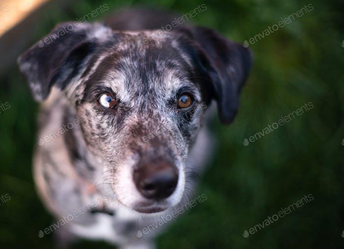 Hell Eyed Einzigartig aussehende Hund Hund Canine sieht auf die Kamera