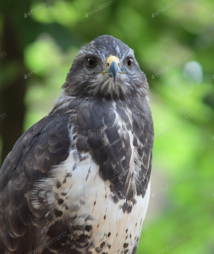 Close-up view of a majestic common buzzard  (Buteo buteo)Close-u