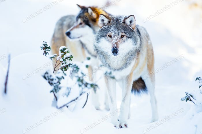 Two large wolves in cold winter landscape
